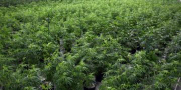 Teen Calls Cops On Mother For Growing Marijuana