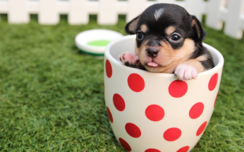 short coated black and brown puppy in white and red polka dot ceramic mug on green field